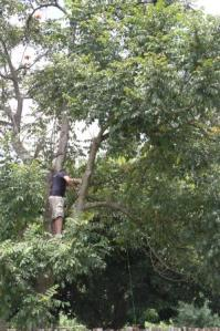 Dave up in the tree by our garden sawing off the overhanging branch