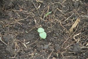 week-old okra