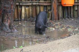 The chickens didn't prefer the rain but the pig loved it - more on him later