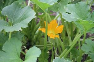 A Zucchini flower