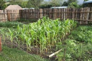 The corn is waist high