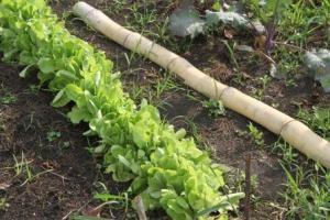 The butter crunch lettuce