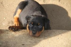 Susie the 9 week old Rottweiler puppy