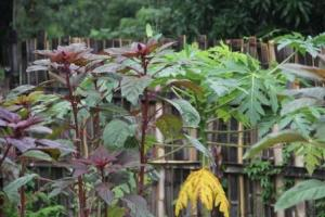 The Amaranth is as tall as our papaya tree!