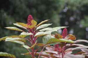 Beautiful Amaranth