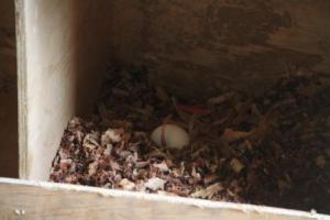 One of the first eggs laid in the next boxes