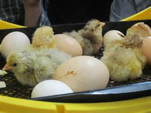 Brinsea Oct 20 hatched chicks